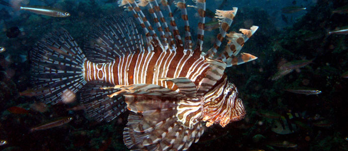 What is an invasive species for Invasive fish in florida