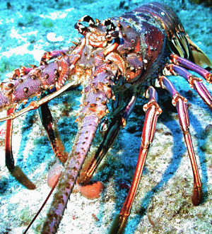 Caribbean lobster