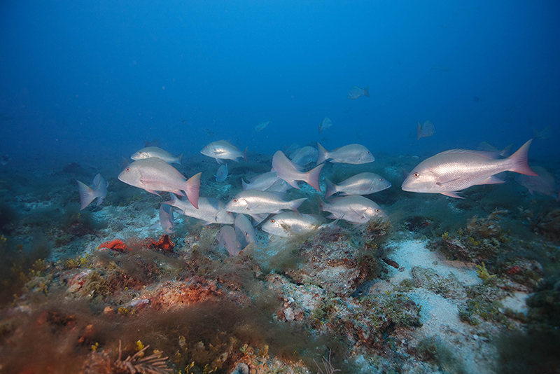 Mutton Snapper aggregation