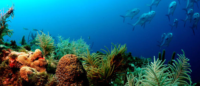 Photo of fish swimming above a coral reef.