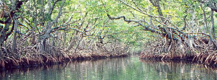 What are mangroves mangroves sciox Images