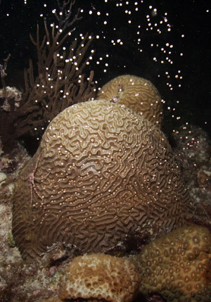 Coral Reef Spawning Season in the Florida Key National Marine Sanctuary