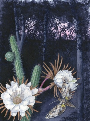 Simpson's Apple Cactus (Harrisia simpsonii): Watercolor by Kathleen Konicek-Moran.