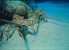 Photo of Florida Spiny Lobster.