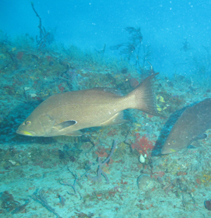 Expedition offers deep insights into fish use of waters ...Yellow Mouth Grouper