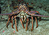 Photo of FL spiny lobster.
