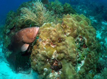 Photo of red grouper on coral reef.