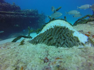 a diseased brain coral with fish swimming around