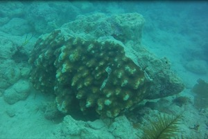 disloged coral
