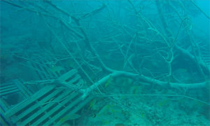 A large mangrove rests among displaced lobster traps at Conch Reef