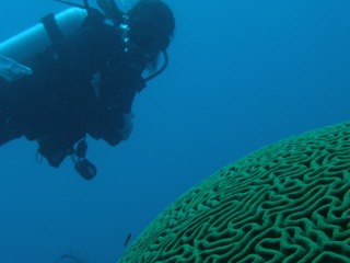 Diver observing a healthy Grooved Brain coral