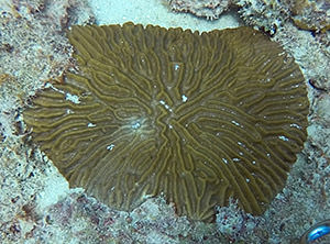a healthy susceptible species coral in area with infected coral