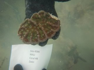 Cactus coral being collected from a reef