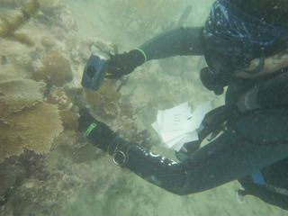 diver using a hammer to remove healthy coral from a reef