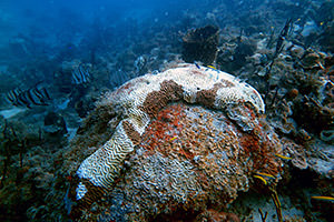 coral with Stony Coral Tissue Loss Disease. Credit: Department of Planning and Natural Resources