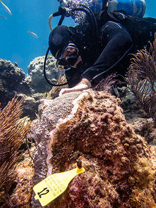 diver applies an antibiotic paste to a diseased colony of great star coral