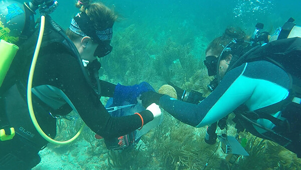 Divers collecting corals