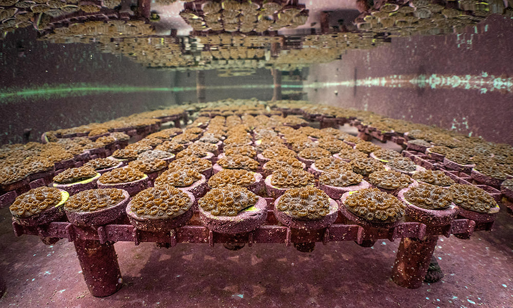 nursery growing coral