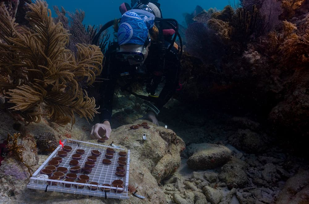 diver outplants small fragments of boulder coral on a reef