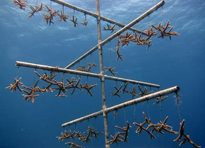 staghorn coral growing on a tree-like structure