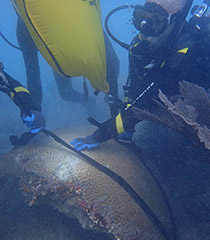 divers using lift bags to flipp and stabilize a 700 lbs brain coral